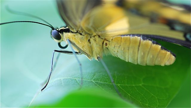 butterfly-mouth