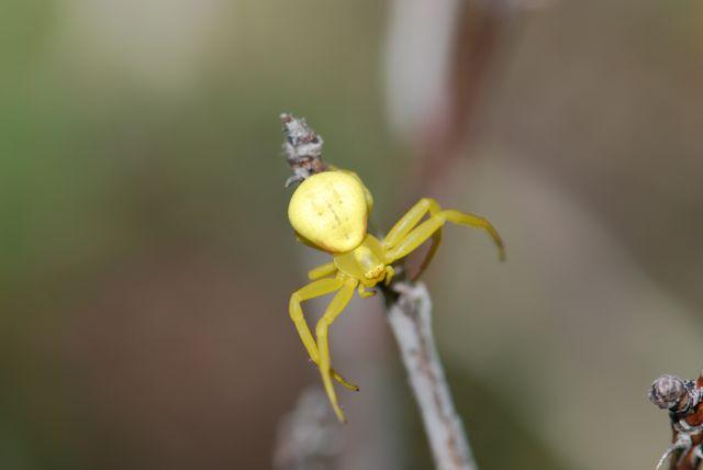 flower-spider