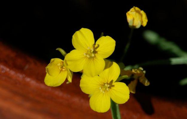 lesquerella-flowers