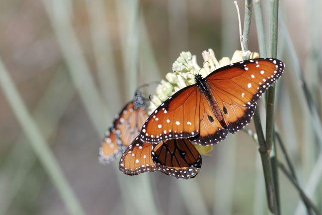 queen-butterflies-3-plus