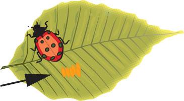 lady-beetle-eggs
