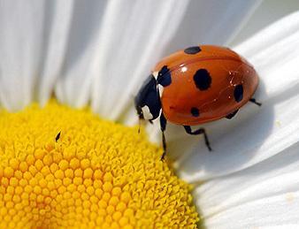ladybeetle1-seven-spot