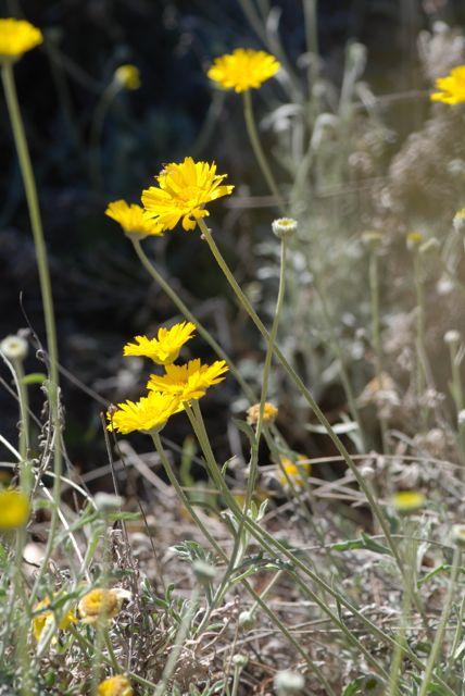 Desert-marigold-far-bug
