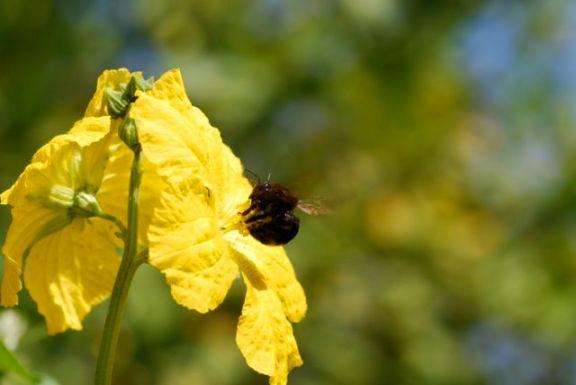 buzz-pollinating-carpenter-bee