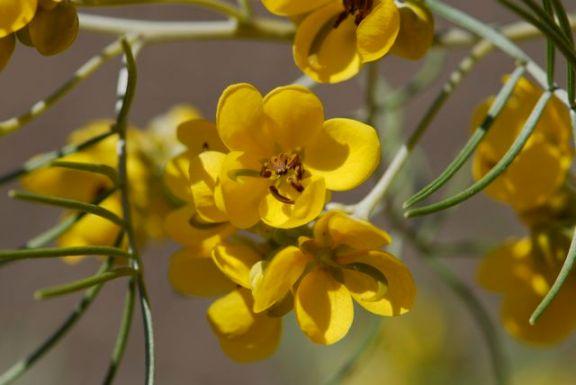 senna-flower-carpel