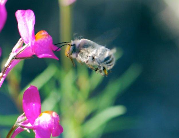 spring-bee-flying-1