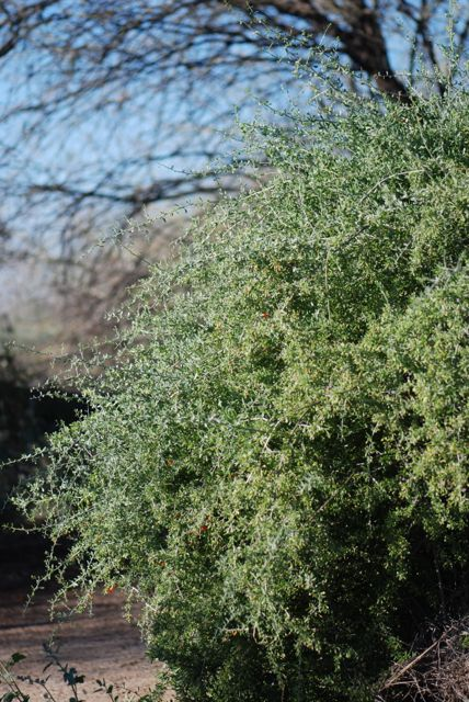 wolfberry-plant