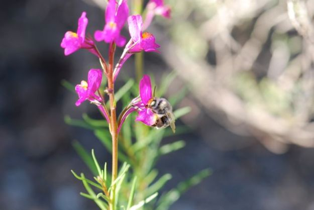 toadflax-leaves-bee