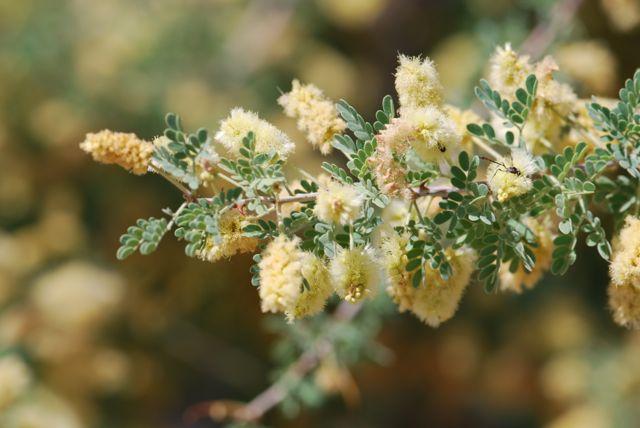 catclaw-acacia-branch
