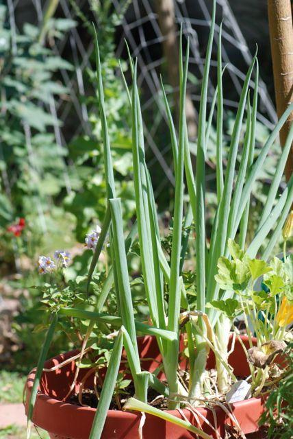 onions-in-pot