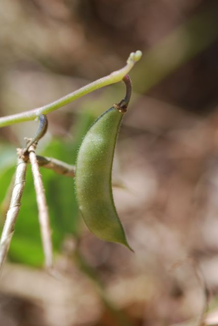phaseolus-bean