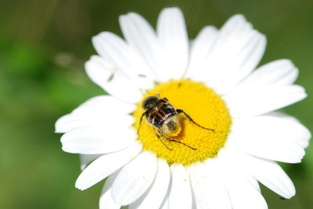 pollinator-beetle-pollinator