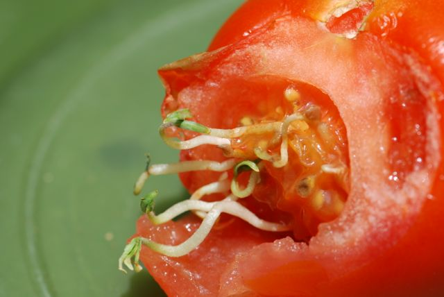 tomato-seeds-sprouting-opened