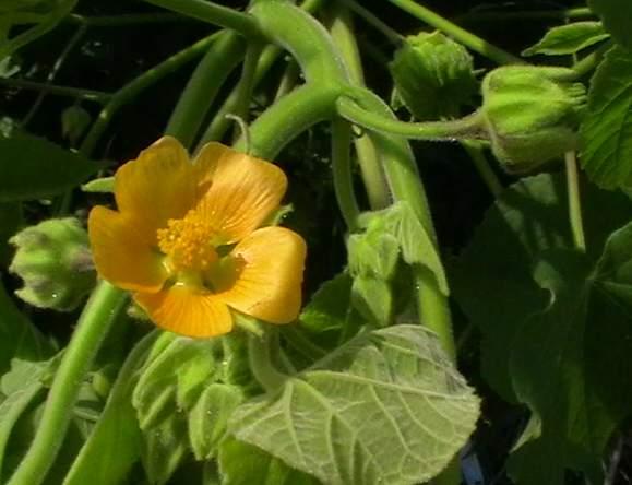 velvet-leaf-flower
