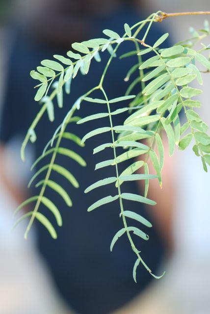 honey-mesquite-leaves