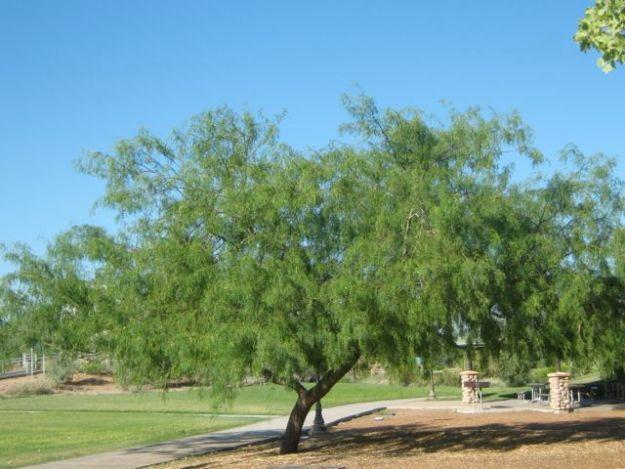 honey-mesquite-tree
