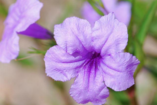 ruellia-flower