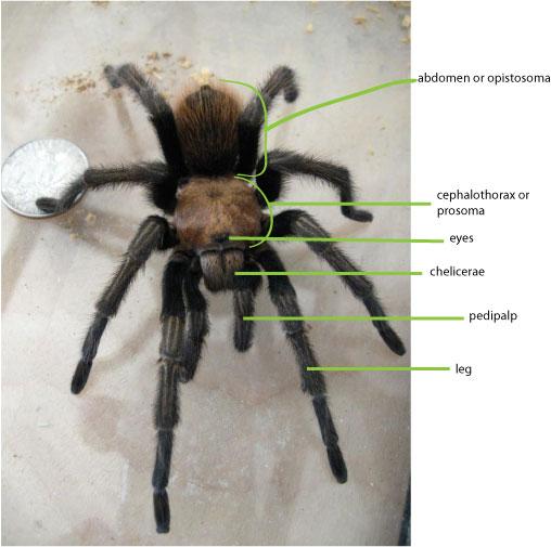 tarantula-anatomy