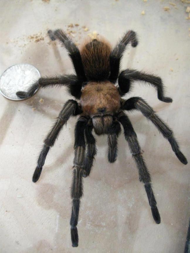tarantula-with-quarter-robyn's