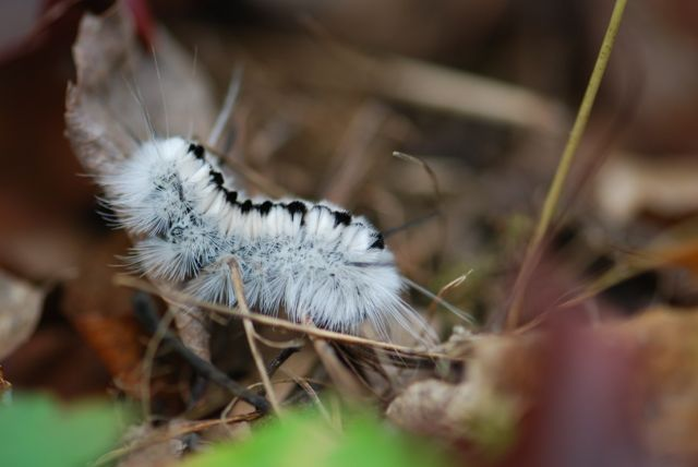 hickory-tussock-side view