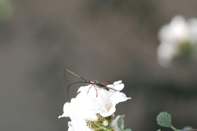 long-horned-beetle-shows-antennae