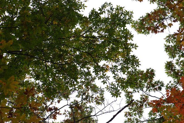 pignut-hickory-canopy