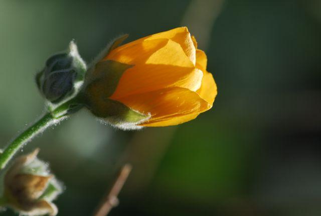 superstition-mallow-flower-dbg