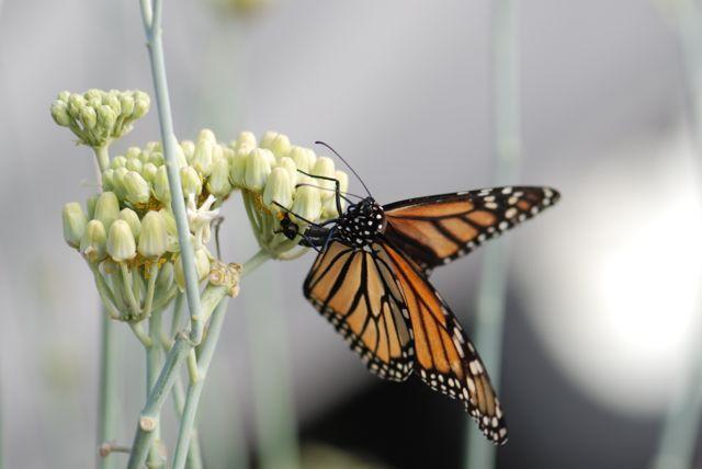2013-first-monarch-in-yard