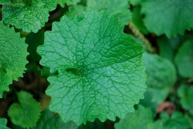 garlic-mustard-leaf