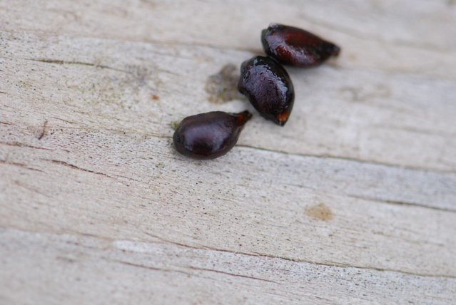 mystery-seeds-184-close