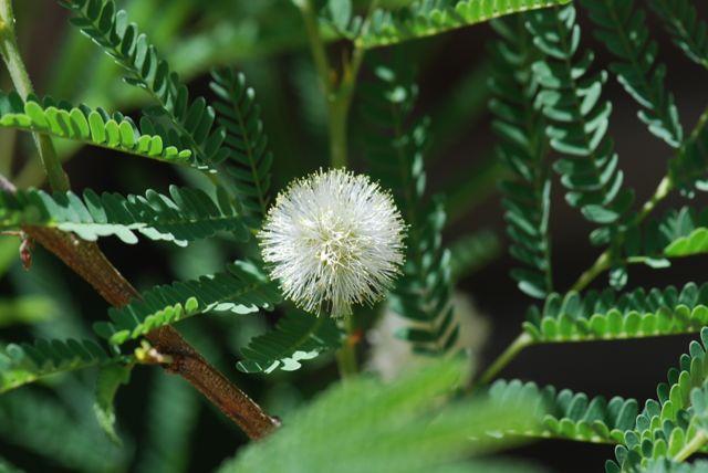 desert-fern-flower-22