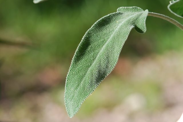 good-sage-leaf