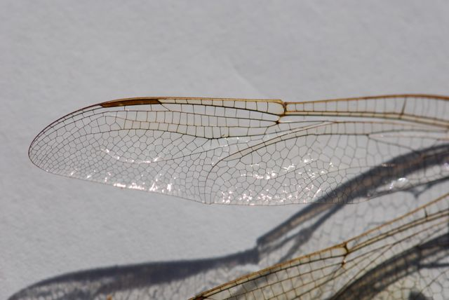mystery-insect-wing-500