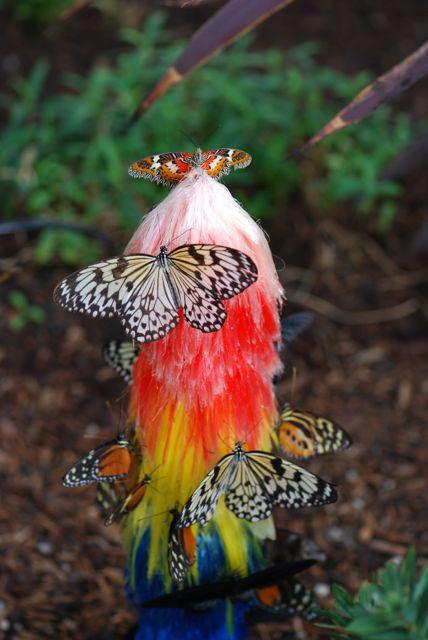 at-top Cethosia biblis perakana (male)