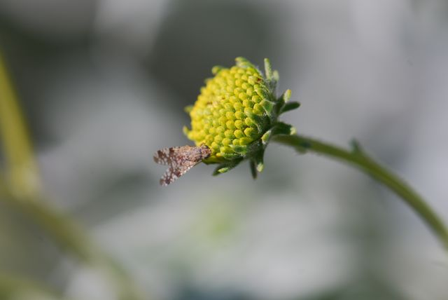 brittle-bush-picture-wing-fly-9
