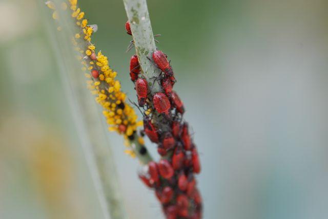 milkweed-bugs-top