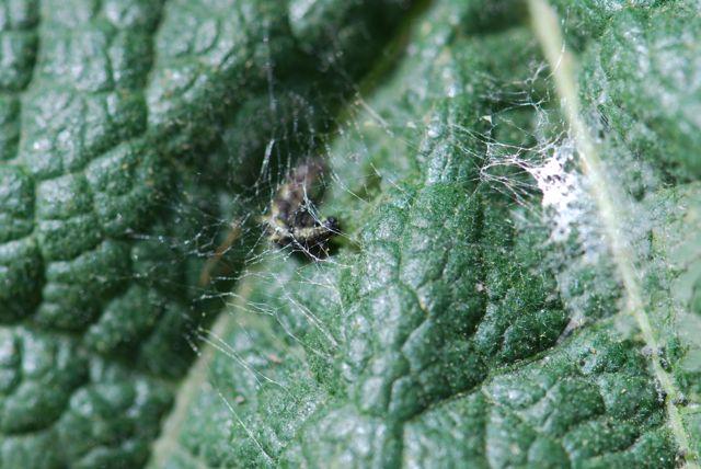 Vanessa cardui caterpillar under webbing