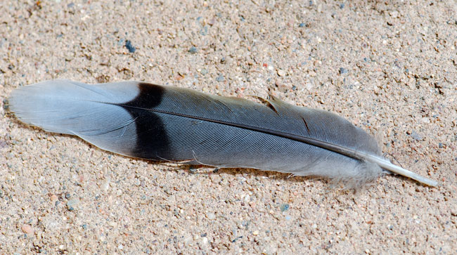 dove-feather