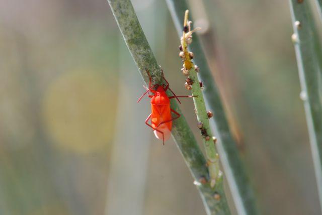 milkweed bug molted