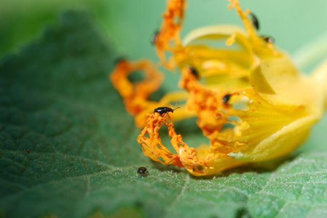 flea-beetle-222