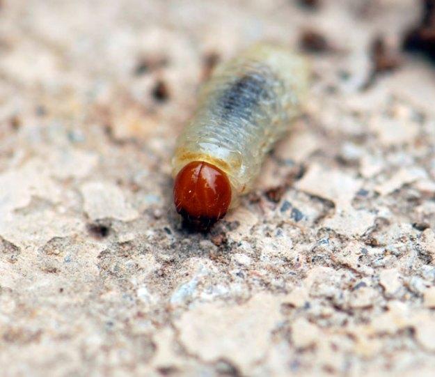 scarab-beetle-grub-200