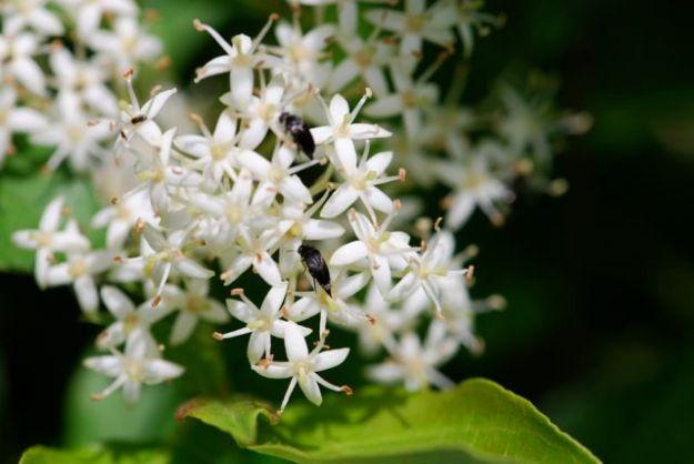 Tumbling flower beetle-11