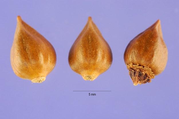coral-vine-seeds