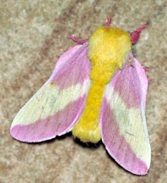 Rosy_maple_moth