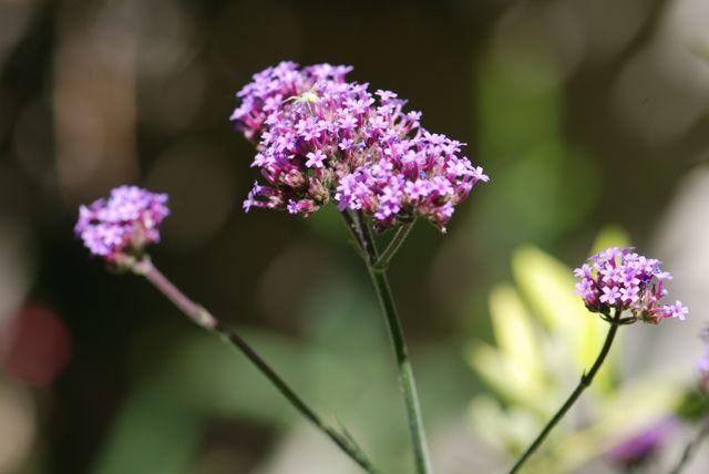 purpletop-vervain-1