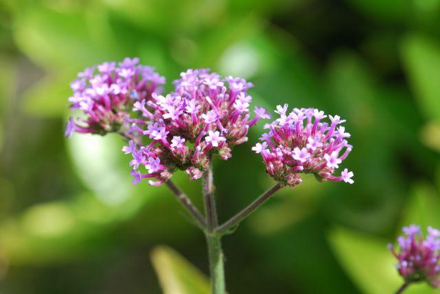 purpletop-verbain-44