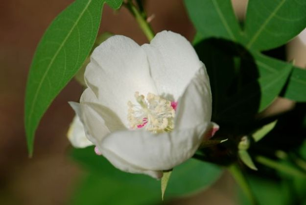 thurbers-cotton-flower