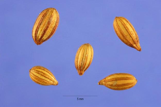 autumn-olive-seeds-hurst