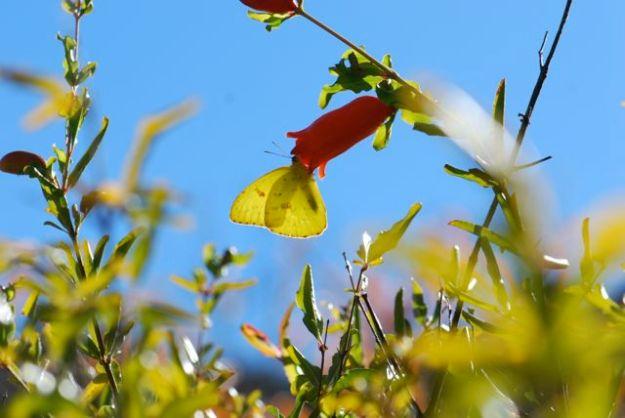 sulfur-butterfly-23