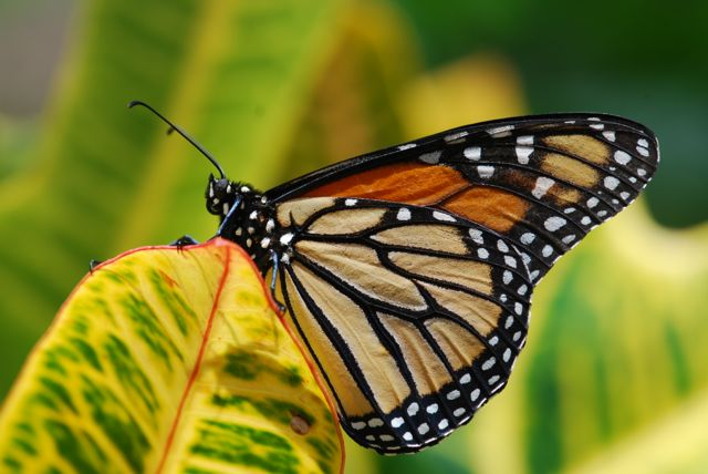 monarch- butterfly- migration